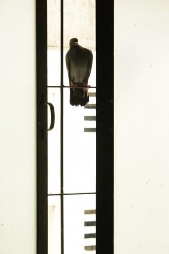 Pigeon Vertical Window