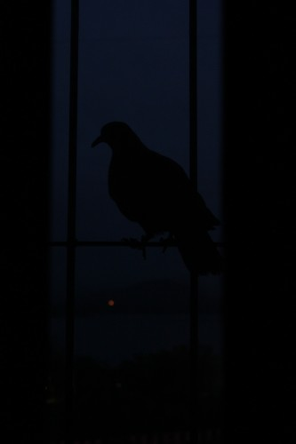 Pigeon Silhouette Window
