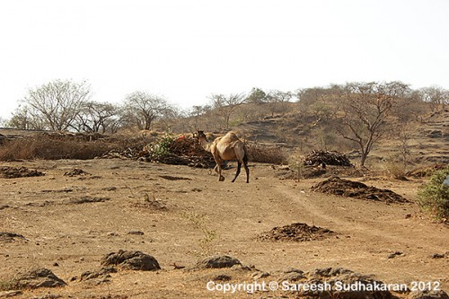 Camel600