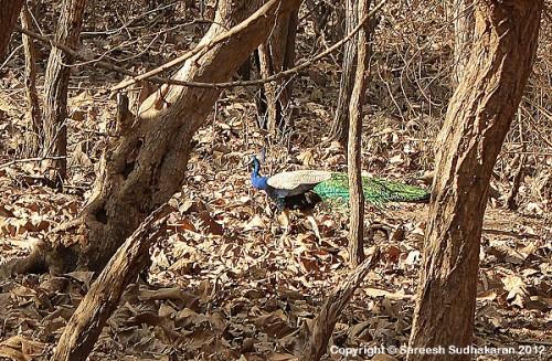 Peacock600