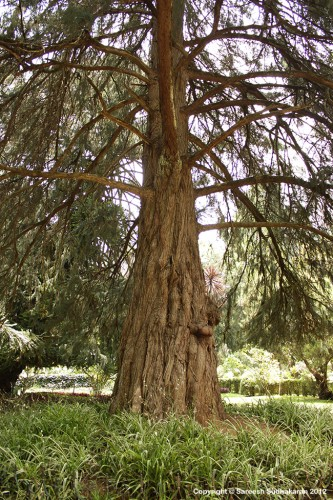 firecrackertree